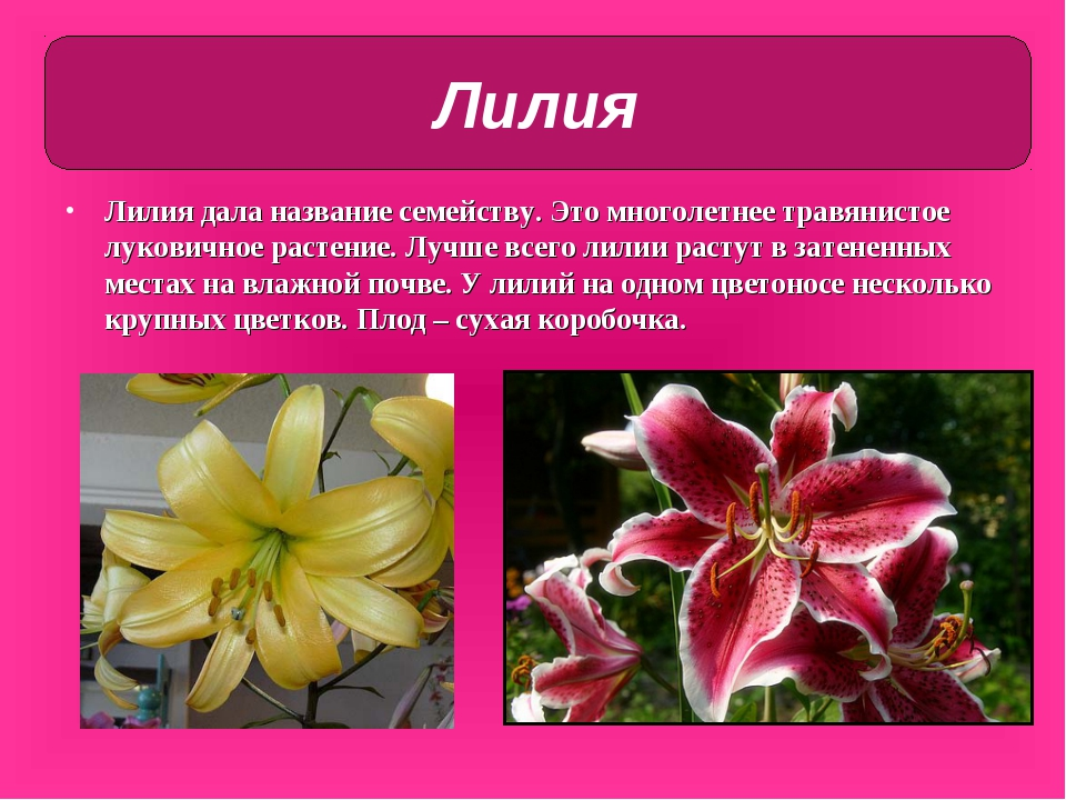 Все цветы семейства лилейных комнатные