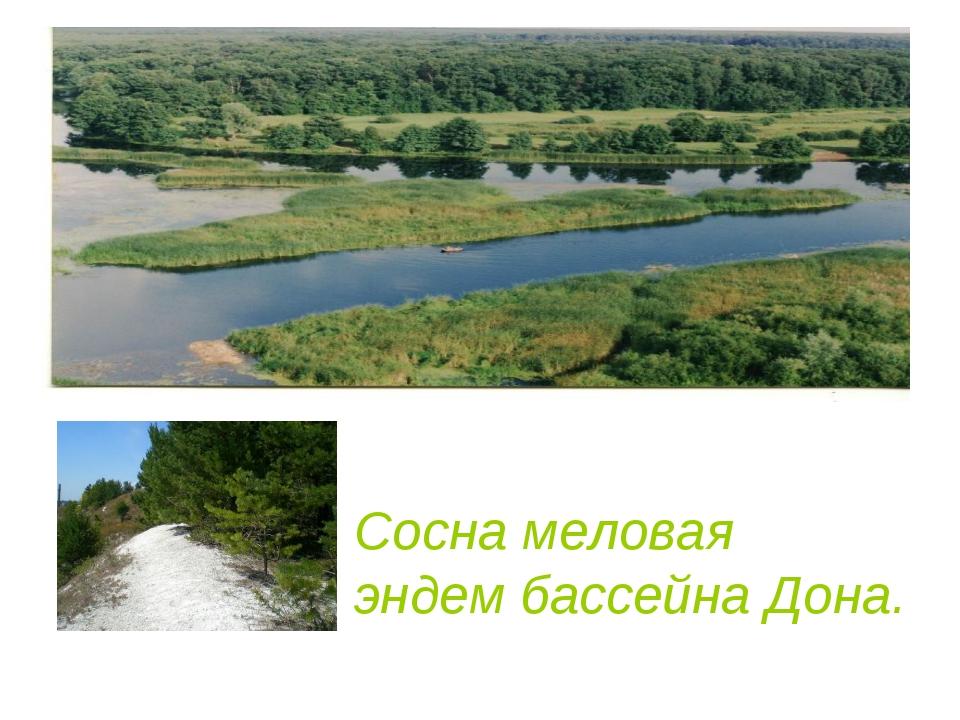 Сосна меловая эндем бассейна Дона.