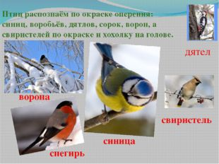 Птиц распознаём по окраске оперения: синиц, воробьёв, дятлов, сорок, ворон, а