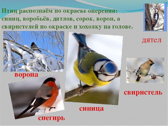 Птиц распознаём по окраске оперения: синиц, воробьёв, дятлов, сорок, ворон, а...