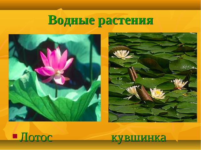 Водные растения Лотос кувшинка