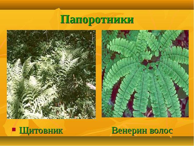 Папоротники Щитовник Венерин волос