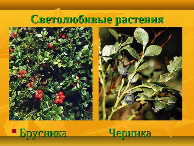 Светолюбивые растения Брусника Черника