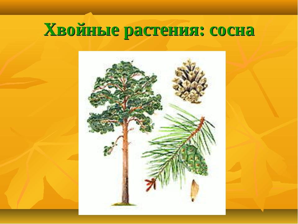 Хвойные растения: сосна