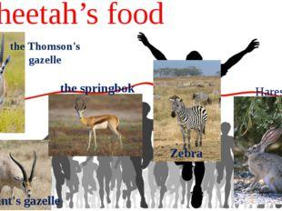Cheetah's food the Thomson's gazelle the Grant's gazelle the springbok Zebra