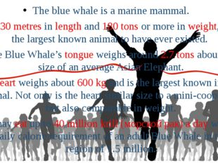 The blue whale is a marine mammal. At 30 metres in length and 180 tons or mor