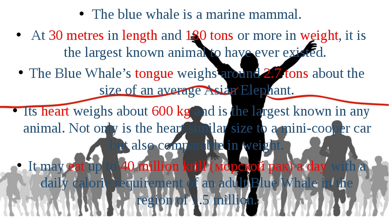 The blue whale is a marine mammal. At 30 metres in length and 180 tons or mor...