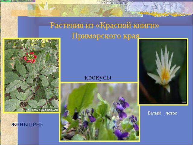 Растения из «Красной книги» Приморского края женьшень крокусы Белый лотос