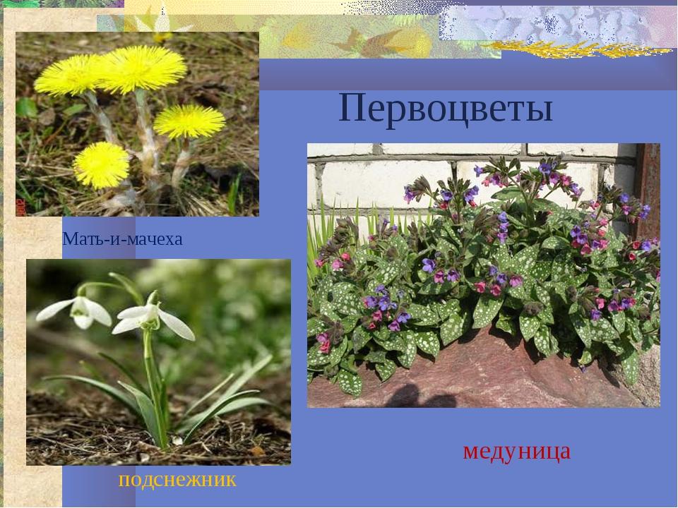 Первоцветы Мать-и-мачеха подснежник медуница