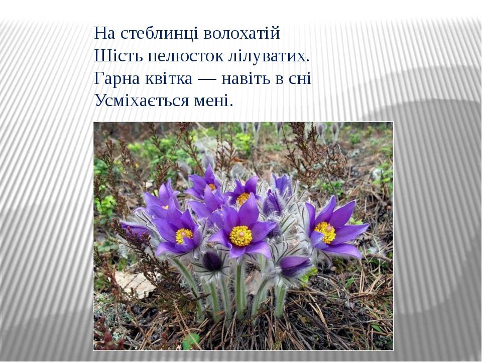 На стеблинці волохатій Шість пелюсток лілуватих. Гарна квітка — навіть в сні...