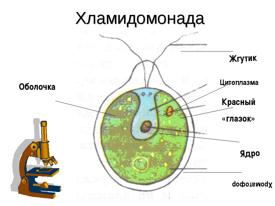 Хламидомонада Оболочка Жгутик Цитоплазма Красный «глазок» Ядро Хроматофор
