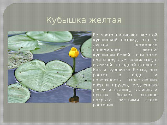 Кубышка желтая Ее часто называют желтой кувшинкой потому, что ее листья неско...
