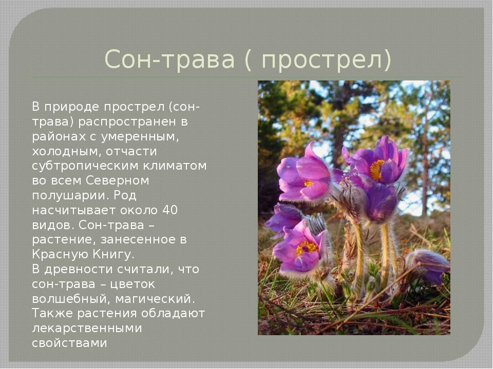 Сон-трава ( прострел) В природе прострел (сон-трава) распространен в районах...