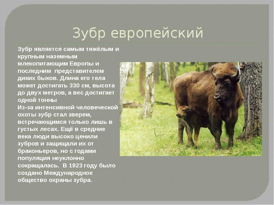 Зубр европейский Зубр является самым тяжёлым и крупным наземным млекопитающим...