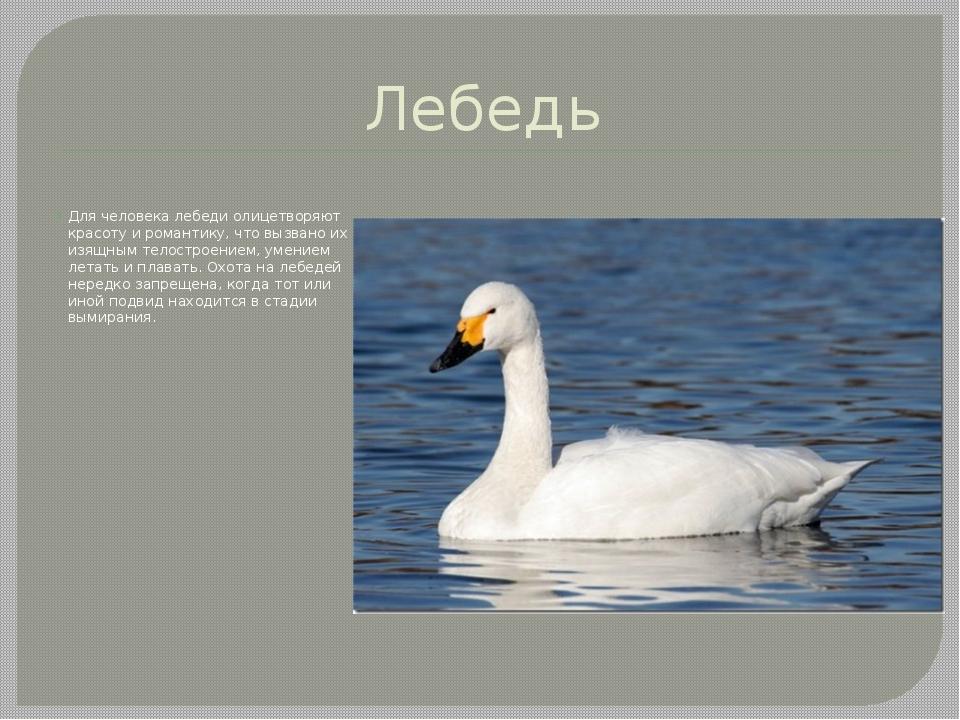 Лебедь Для человека лебеди олицетворяют красоту и романтику, что вызвано их и...