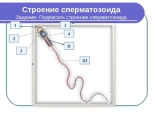 Строение сперматозоида Задание: Подписать строение сперматозоида III I 4 2 1