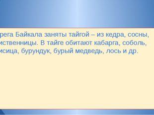 Берега Байкала заняты тайгой – из кедра, сосны, лиственницы. В тайге обитают