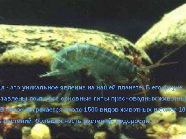 Байкал - это уникальное явление на нашей планете. В его фауне представлены п...