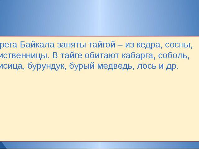 Берега Байкала заняты тайгой – из кедра, сосны, лиственницы. В тайге обитают...