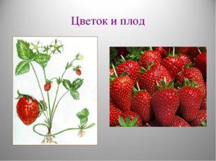 Цветок и плод