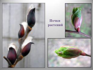 Почки растений