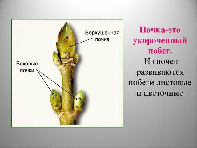 Почка-это укороченный побег. Из почек развиваются побеги листовые и цветочные