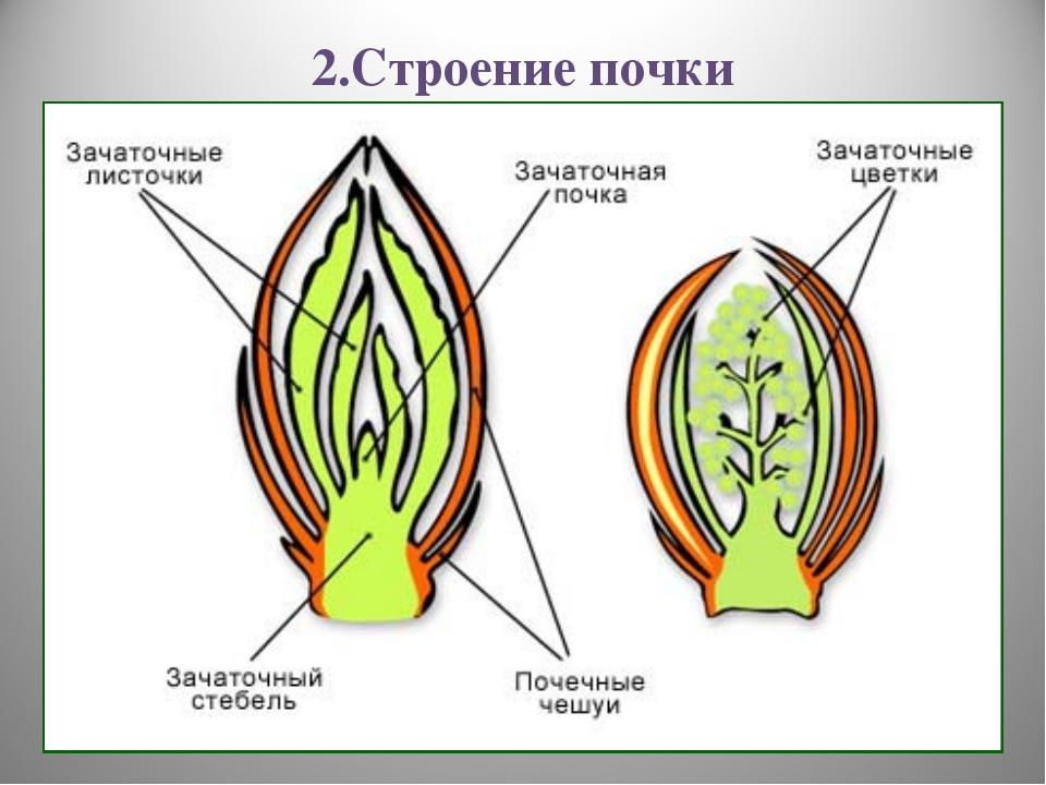 2.Строение почки