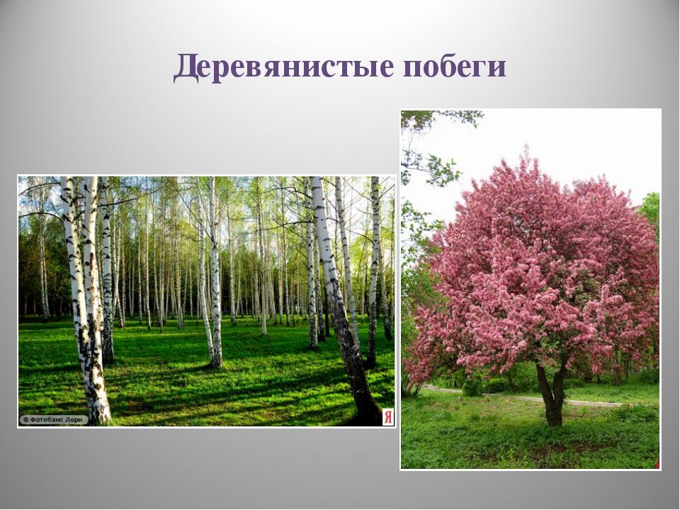 Деревянистые побеги