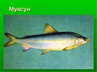 Муксун