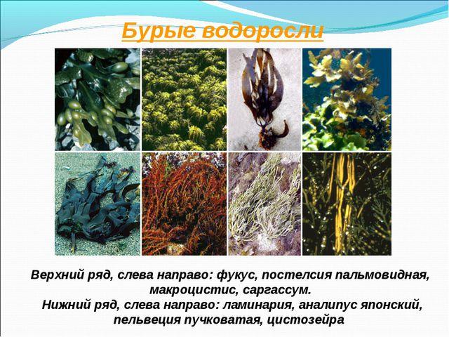 Бурые водоросли Верхний ряд, слева направо: фукус, постелсия пальмовидная, ма...