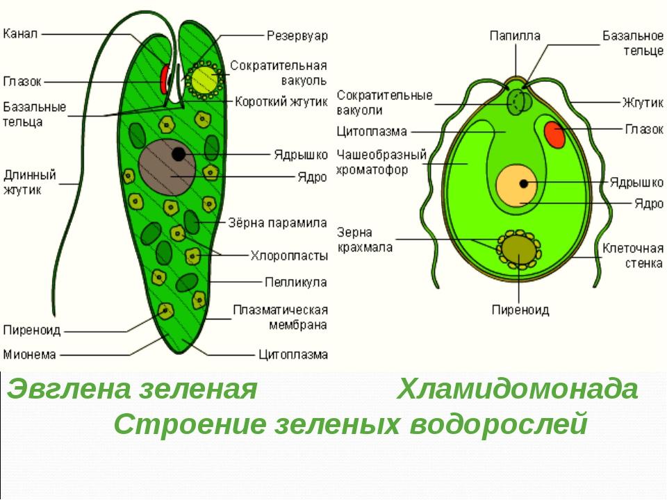 Эвглена зеленая Хламидомонада Строение зеленых водорослей