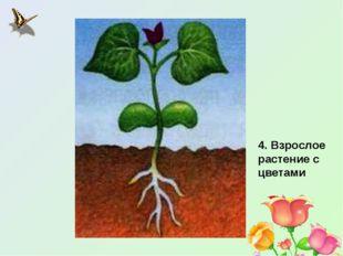 4. Взрослое растение с цветами