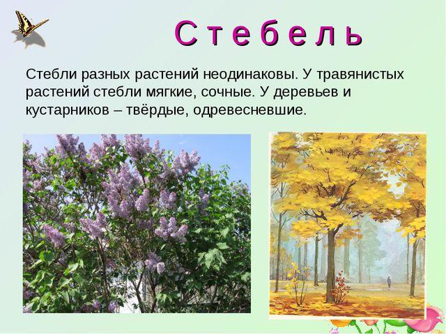 С т е б е л ь Стебли разных растений неодинаковы. У травянистых растений сте...