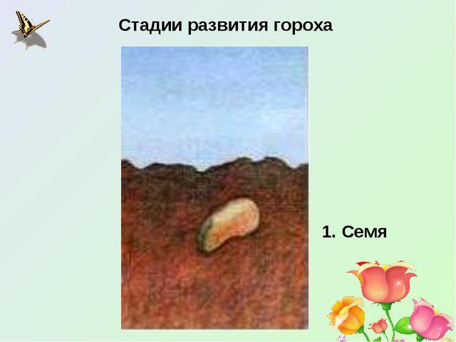 Стадии развития гороха 1. Семя
