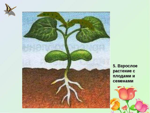 5. Взрослое растение с плодами и семенами