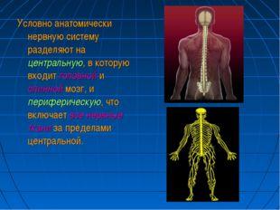 Условно анатомически нервную систему разделяют на центральную, в которую вход