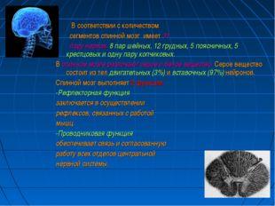 В соответствии с количеством сегментов спинной мозг имеет 31 пару нервов: 8