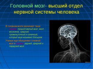 Головной мозг- высший отдел нервной системы человека В головном мозге различа
