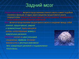 Задний мозг -Продолговатый мозг является продолжением спинного мозга и имеет