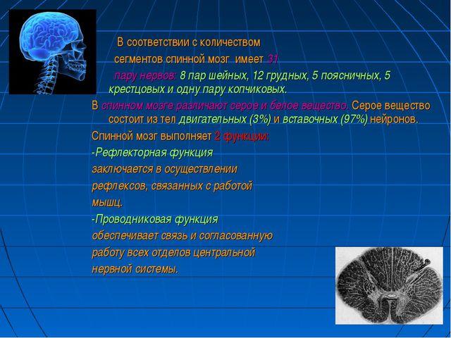 В соответствии с количеством сегментов спинной мозг имеет 31 пару нервов: 8...
