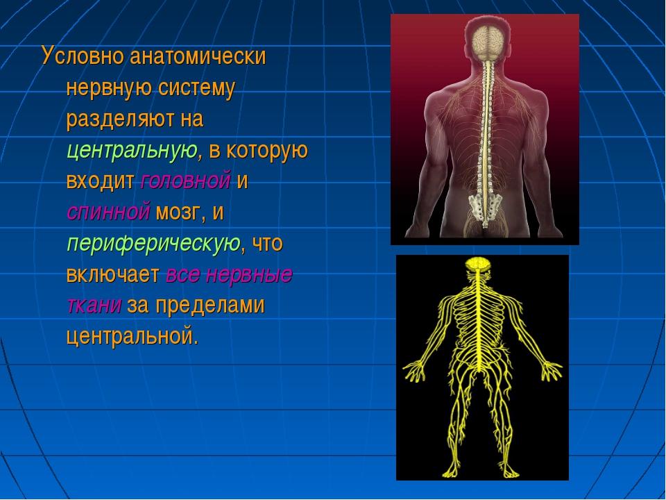 Условно анатомически нервную систему разделяют на центральную, в которую вход...