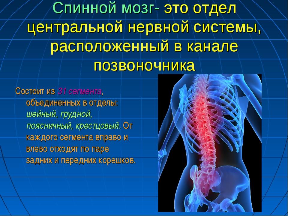 Спинной мозг- это отдел центральной нервной системы, расположенный в канале п...