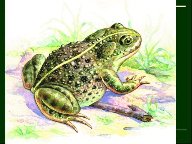 У зеленому жакеті Галасує в очереті, Хоч і плавати мастак, А не риба і не рак.