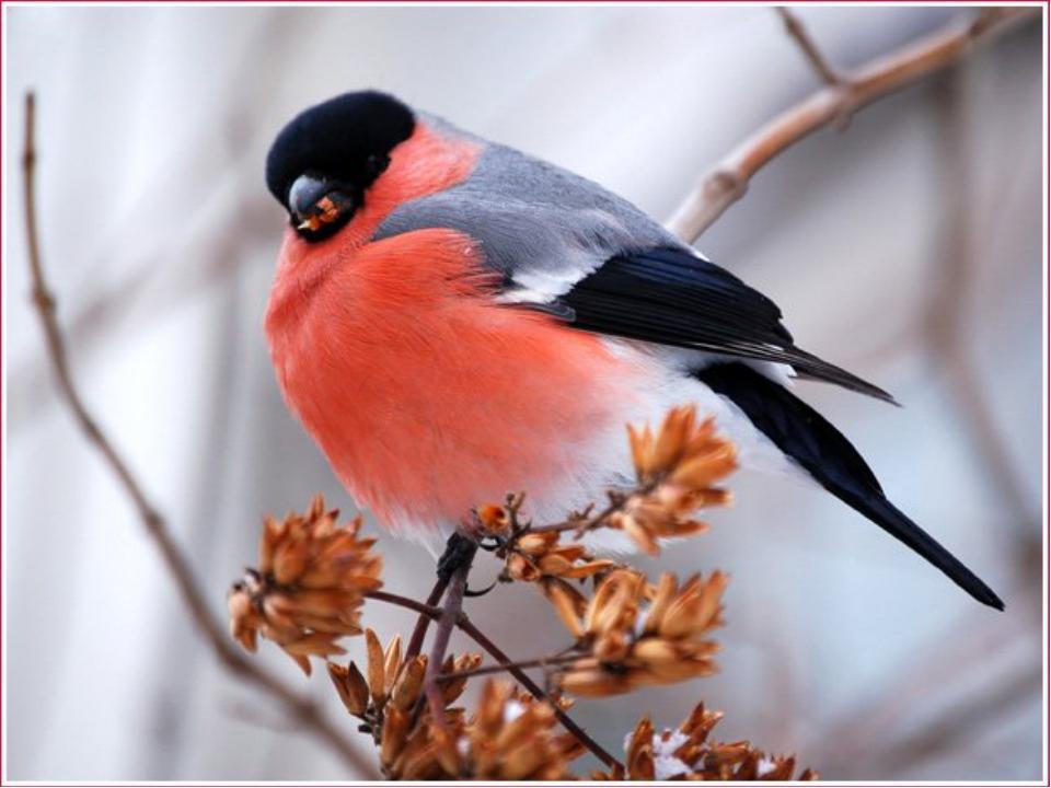Всі в блакитнім піджаку, В рожевій сорочці. В нас зимою по садку Гуляють як г...