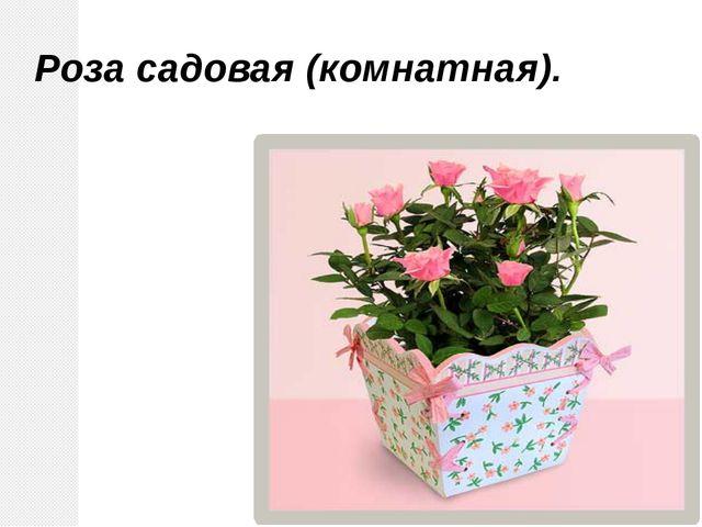 Роза садовая (комнатная).