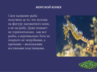 МОРСКОЙ КОНЕК Свое название рыба получила за то, что похожа на фигуру шахматн