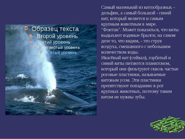 Самый маленький из китообразных - дельфин, а самый большой - синий кит, кото...