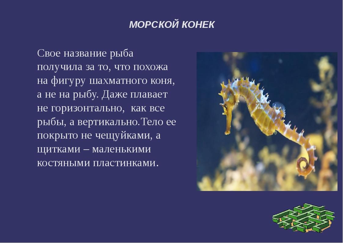 МОРСКОЙ КОНЕК Свое название рыба получила за то, что похожа на фигуру шахматн...