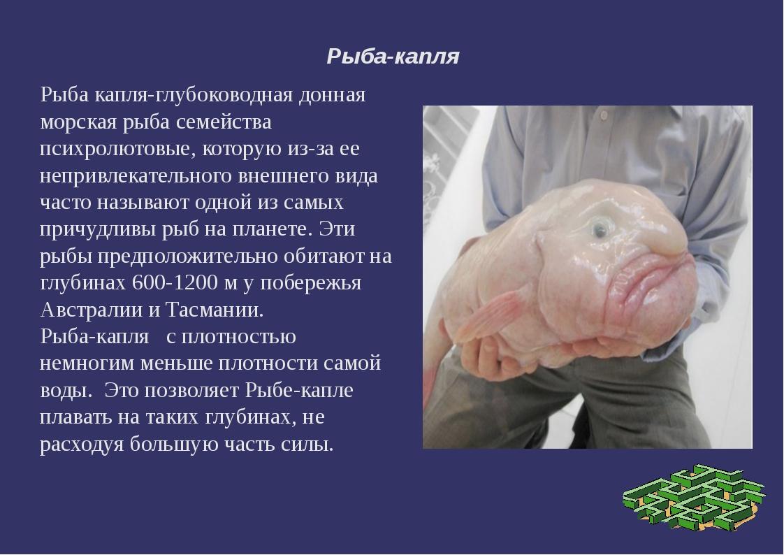 Рыба-капля Рыба капля-глубоководная донная морская рыба семейства психролютов...