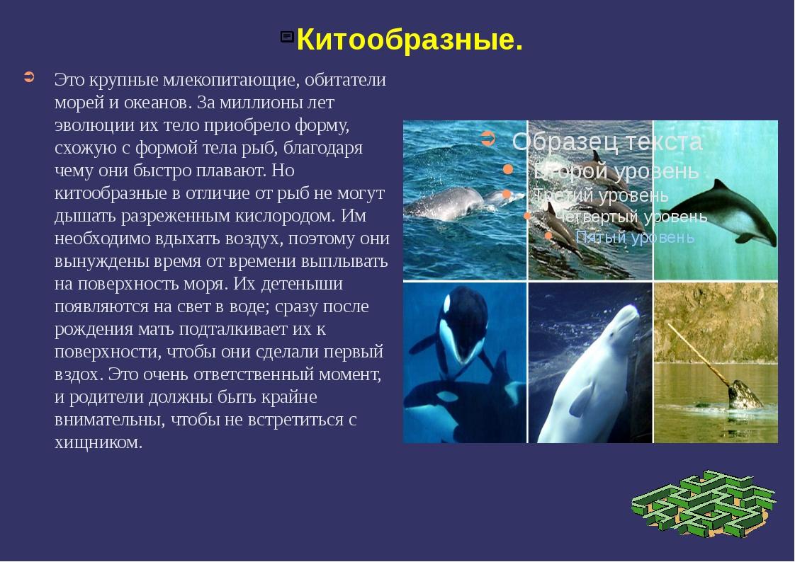 Китообразные. Это крупные млекопитающие, обитатели морей и океанов. За миллио...